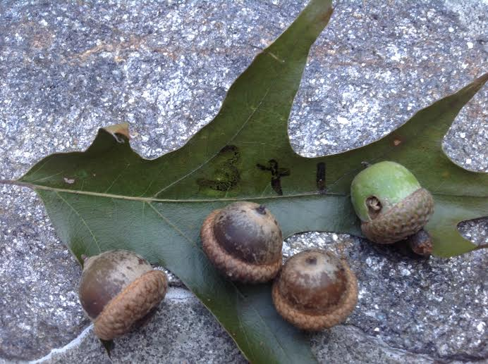 Acorns are everywhere right now, and acorns are a great tool for learning math.  Acorn math is a very Waldorf-themed sensory activity.